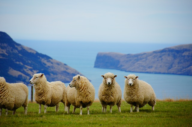 sheep in a paddock in New Zealand